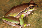 Blue Mountains Tree Frog (Litoria citropa) Copyright Julian Bentley. Photograph by Julian Bentley.