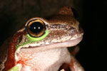 Blue Mountains Tree Frog (Litoria citropa) Copyright Amphibian Research Centre. Photograph by Lydia Fucsko.