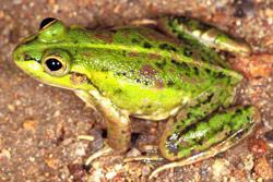 Frogs of Australia > Litoria dahli / Dahls Aquatic Frog