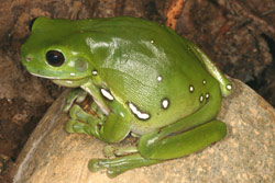Northern Green Tree Frog