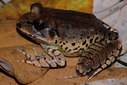 Great barred frog Frogs of Australia gt Mixophyes fasciolatus Great Barred Frog