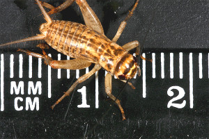 Crickets 1  3 size (12-15mm)