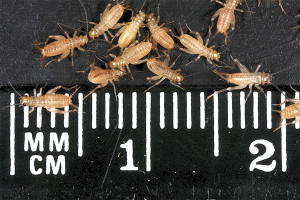 Crickets 10-day-old (3-4mm) Original