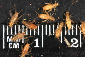 Crickets 15-day-old (4-5mm)