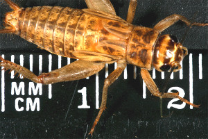 Crickets 2  3 size (15 20mm)