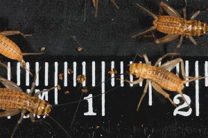 Crickets 20-day-old (6-8mm)