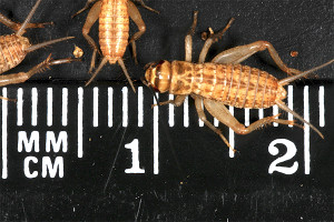 Crickets 25-day-old (10-12mm) Original