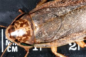 wood-roach