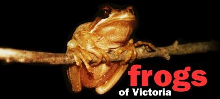 Frogs of Victoria