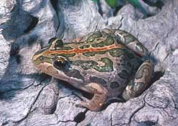 Spotted marsh frog photo by P.Robertson